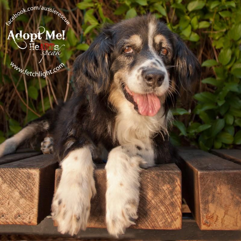 adoptable dog san diego aussie australian shepherd rescue
