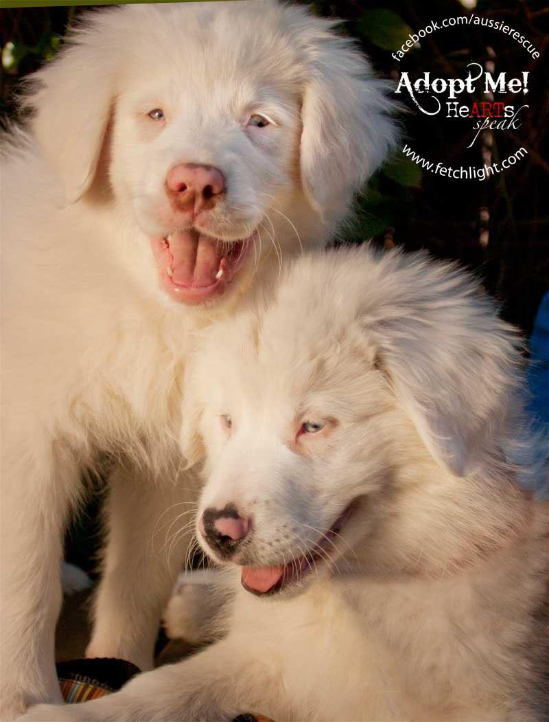 Aussie Rescue San Diego Australian Shepherd puppies double merle