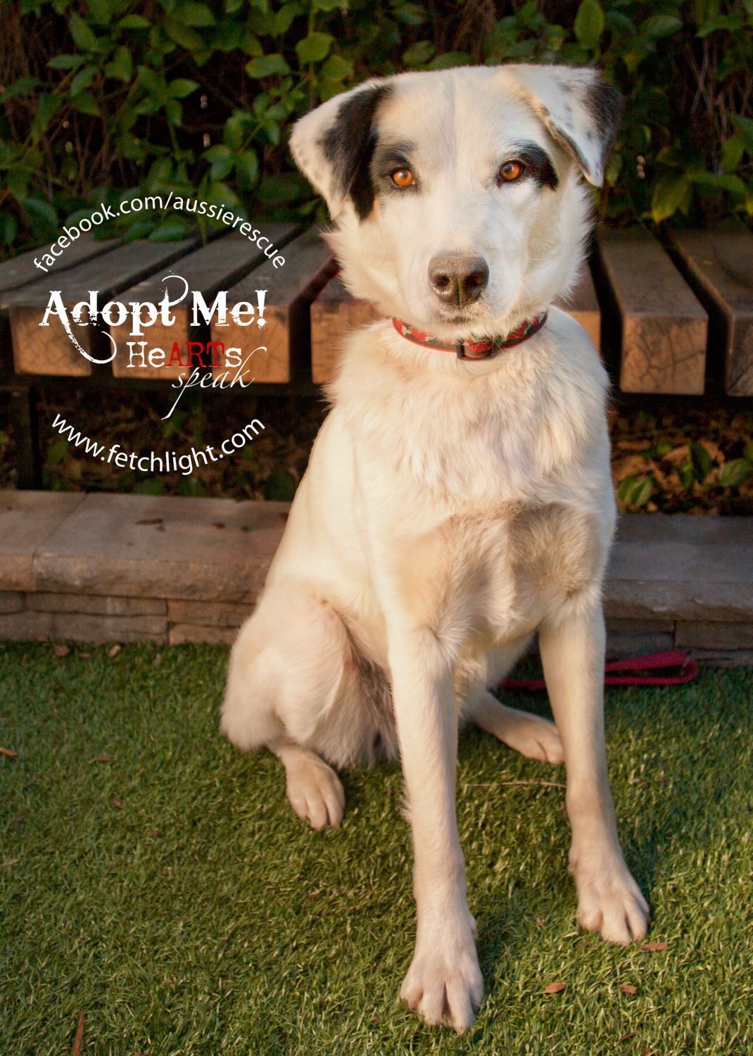 adoptable dog san diego aussie rescue