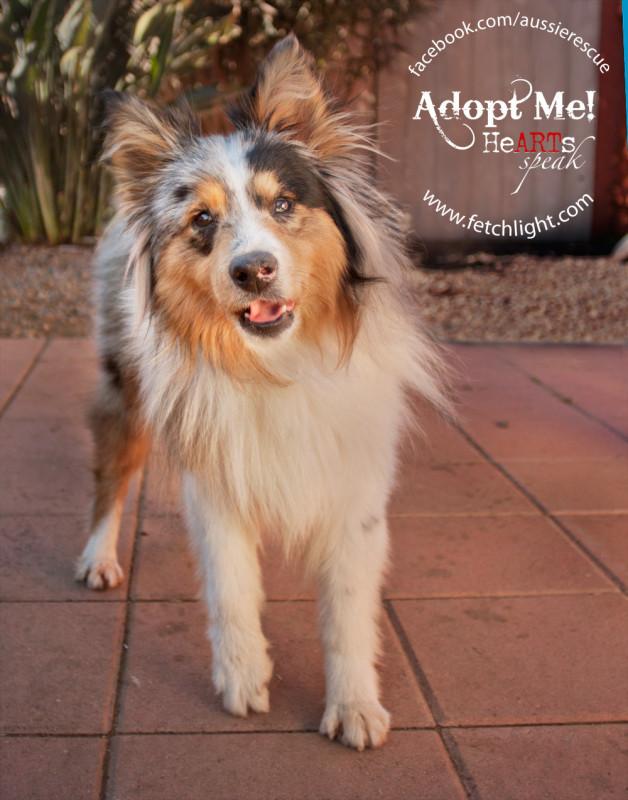 aussie rescue san diego adoptable dog australian shepherd sheltie mini