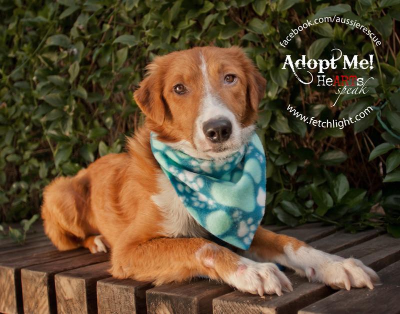 Shamus Aussie Rescue San Diego dog rescue dog border adoptable golden