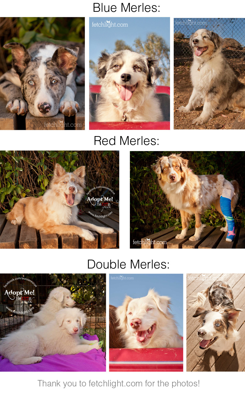 Double Merles Aussie Rescue San Diego