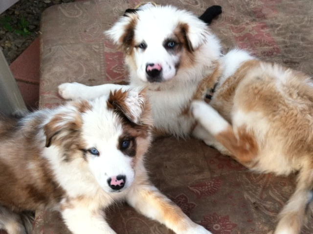 double merle puppies aussie rescue san diego