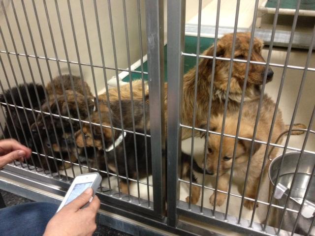 Adoptable shepherd puppies san diego