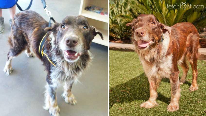 Aussie Rescue San Diego Senior Dog
