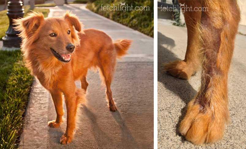 Aussie Rescue San Diego skin graft dog